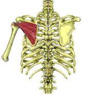 the infraspinatus muscle