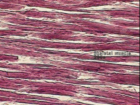 rotator cuff muscle tissue